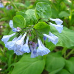 bluebellpretty