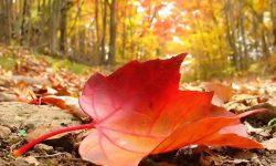 Autumn_falling_leaf